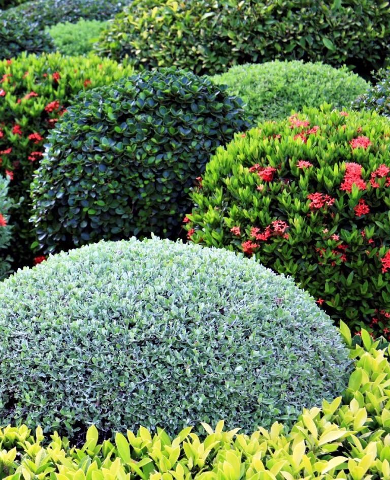 Manicured garden shrubs.
