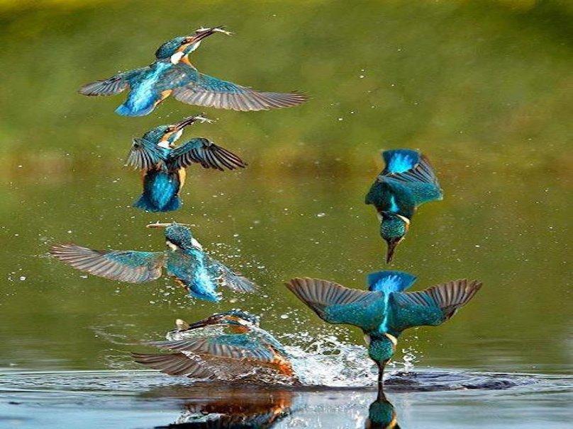 305309__australian-kingfisher_p