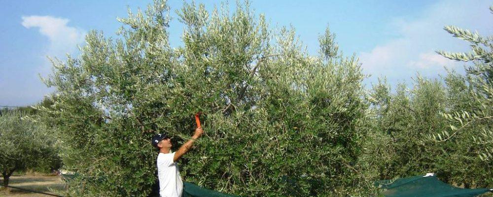Η πατέντα για το μάζεμα των ελιών που περίμενε κάθε Έλληνας