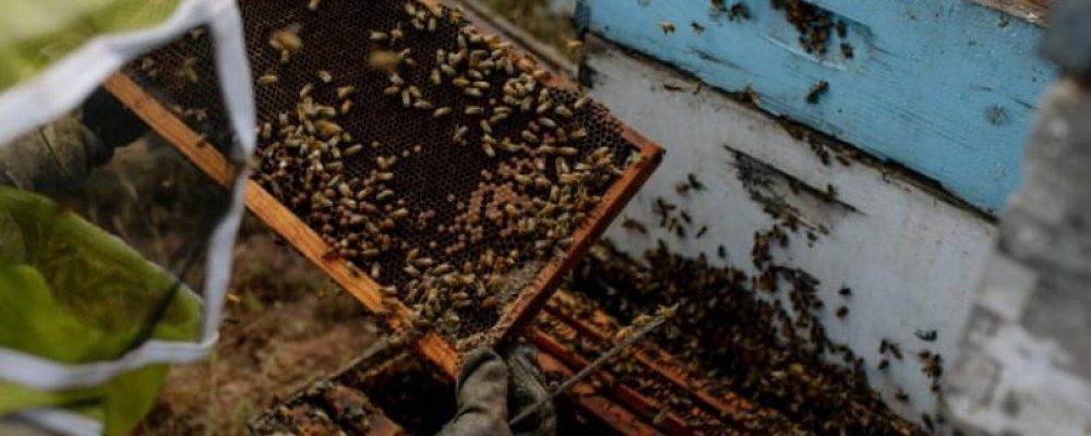 Θανατώνοντας δισεκατομμύρια μέλισσες για την παρασκευή «γάλακτος» αμυγδάλου